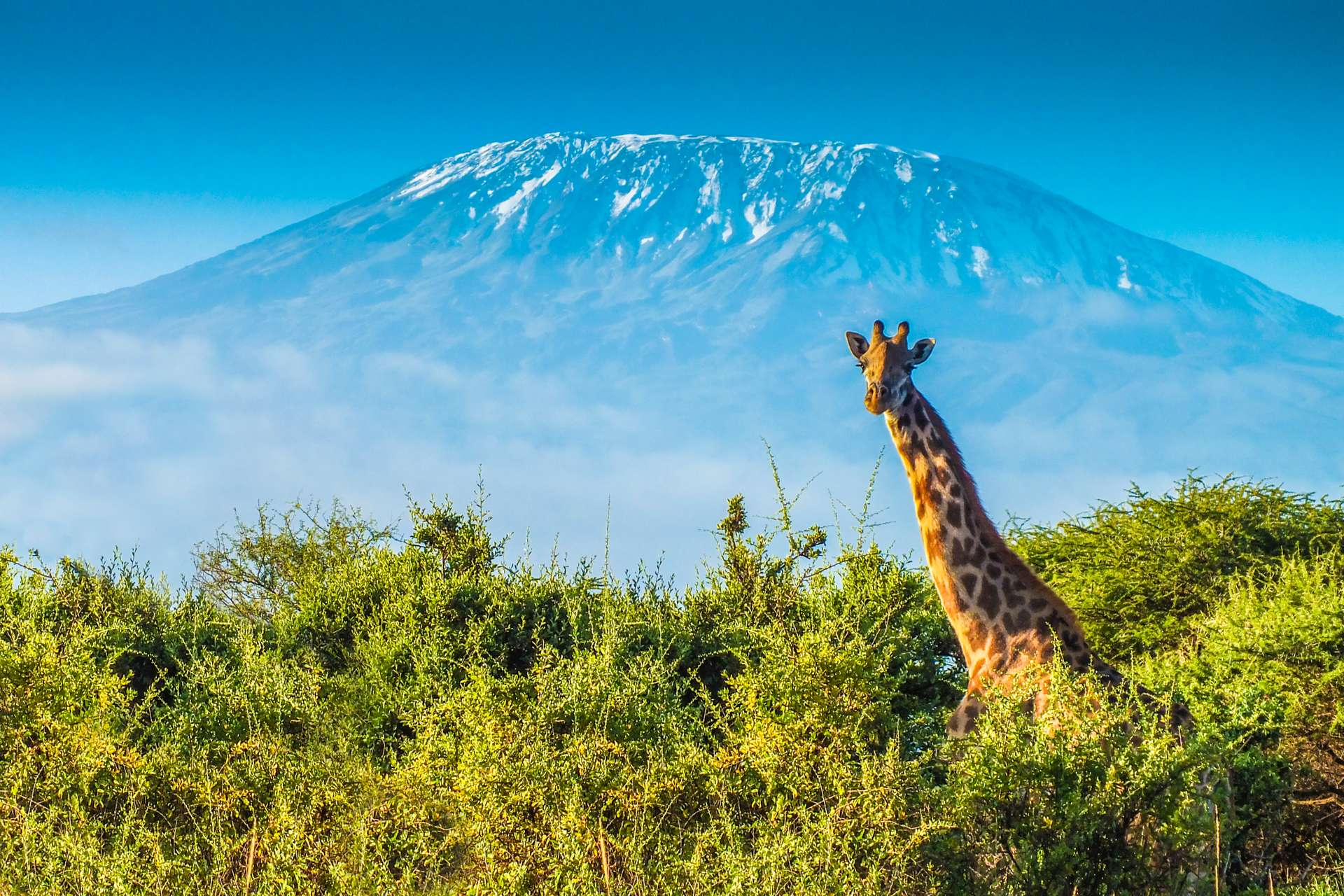 tanzania kilimanjaro giraffe