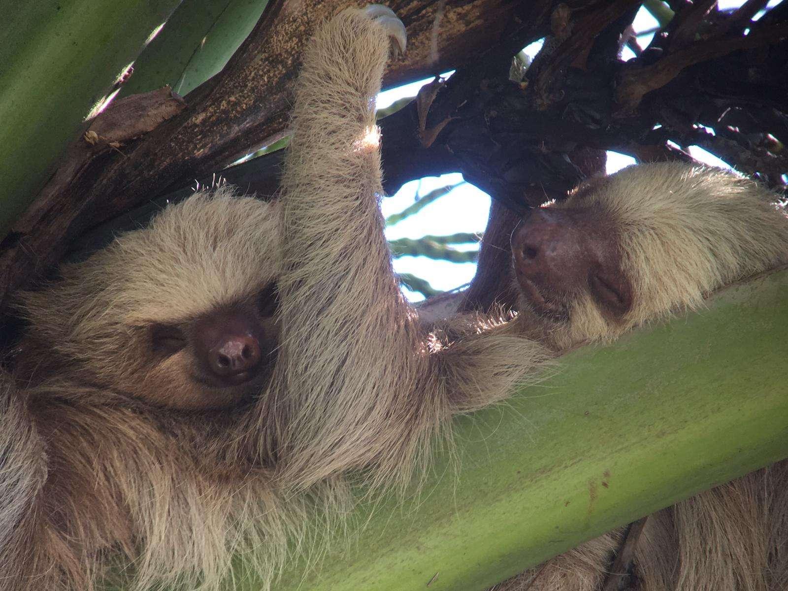 Costa Rica, Manuel Antonio, luiaard