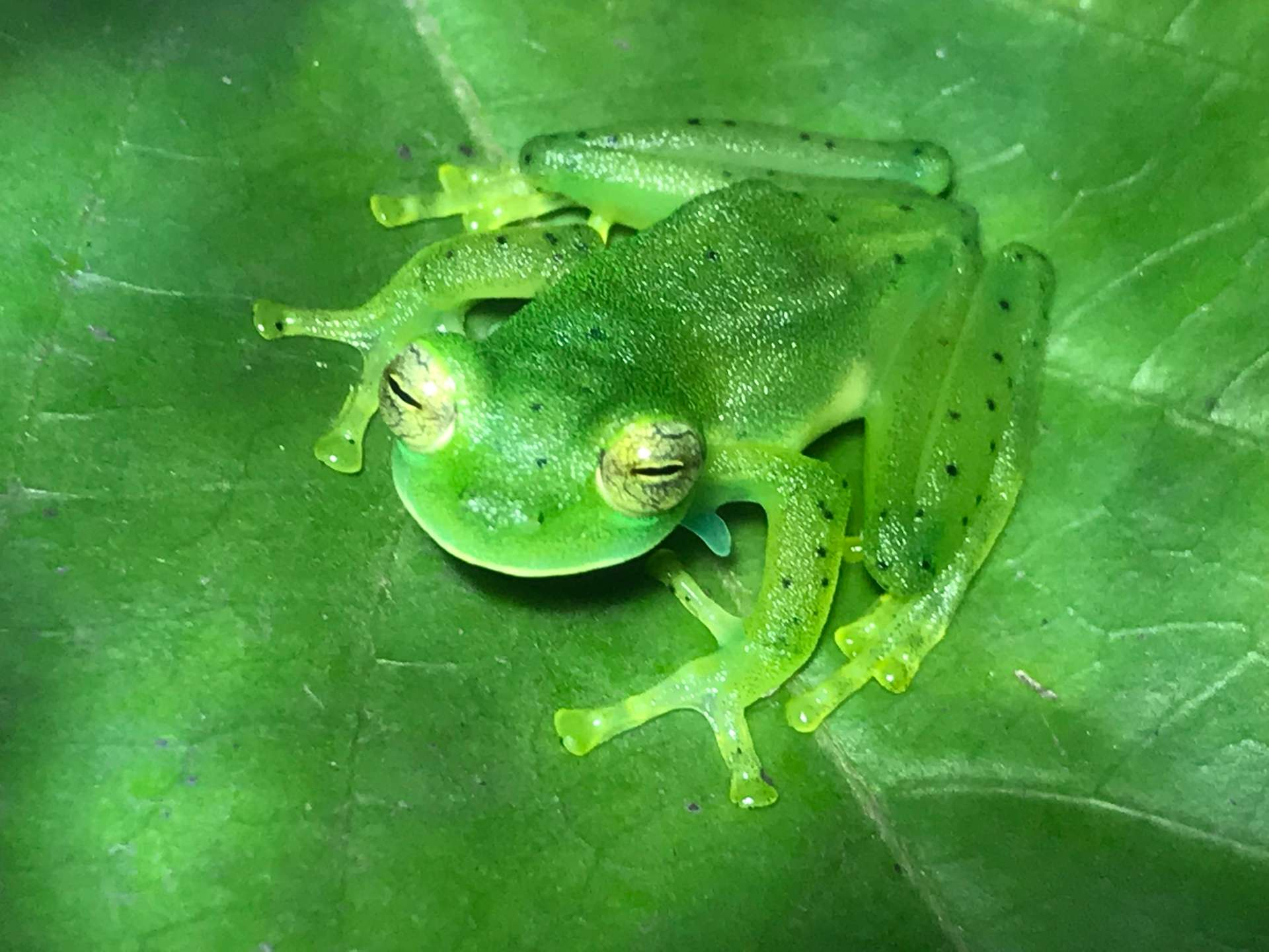 Costa Rica, Frog Pond, groene kikker