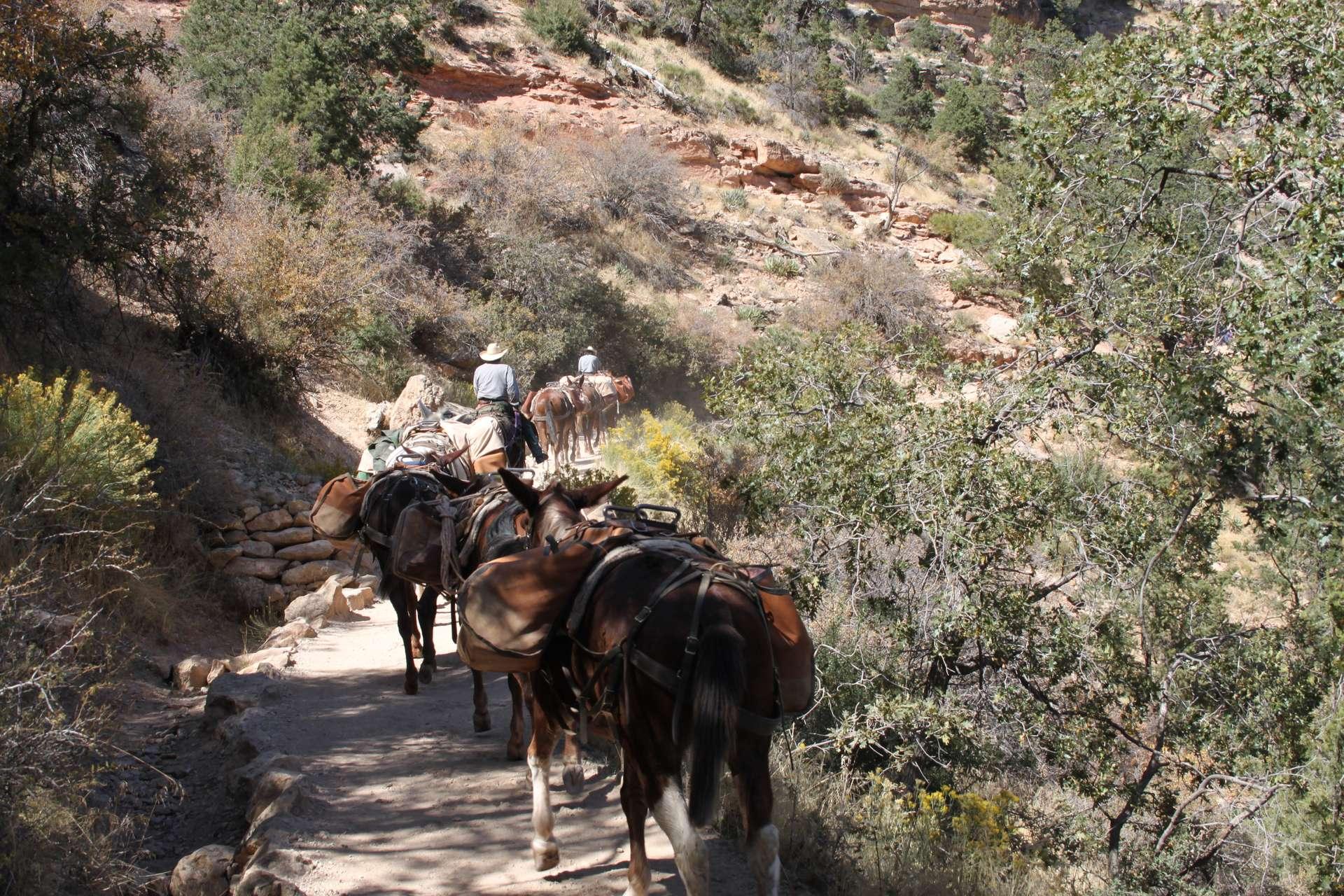 Amerika, Canyon, Mules