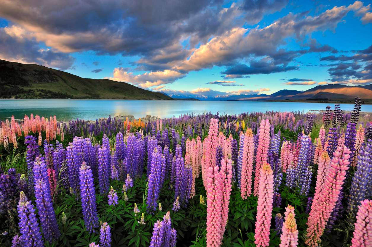 Nieuw Zeeland - Lake Tekapo - lupines - goedkope rondreis