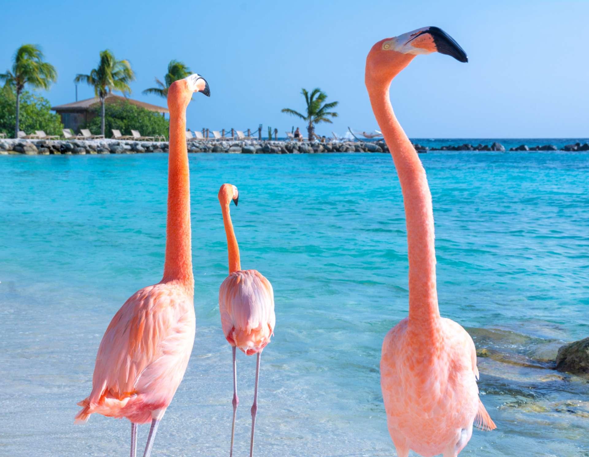 Aruba flamingo op strand