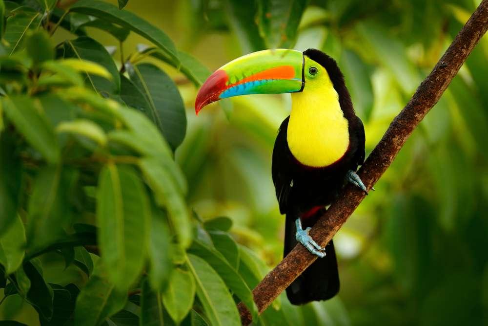 Costa Rica Boca Tapada toekan