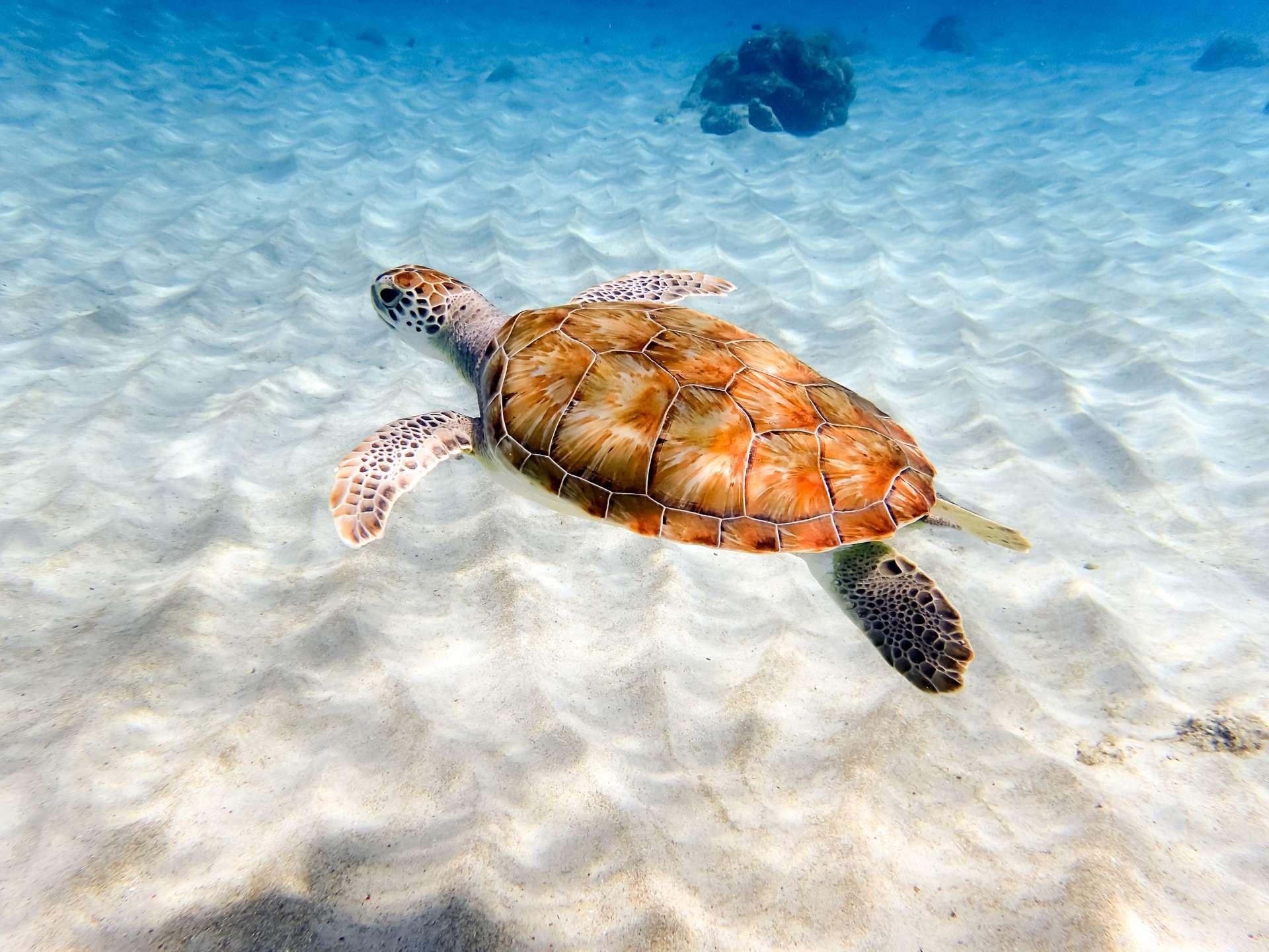 Curacao Grandi Beach schildpad