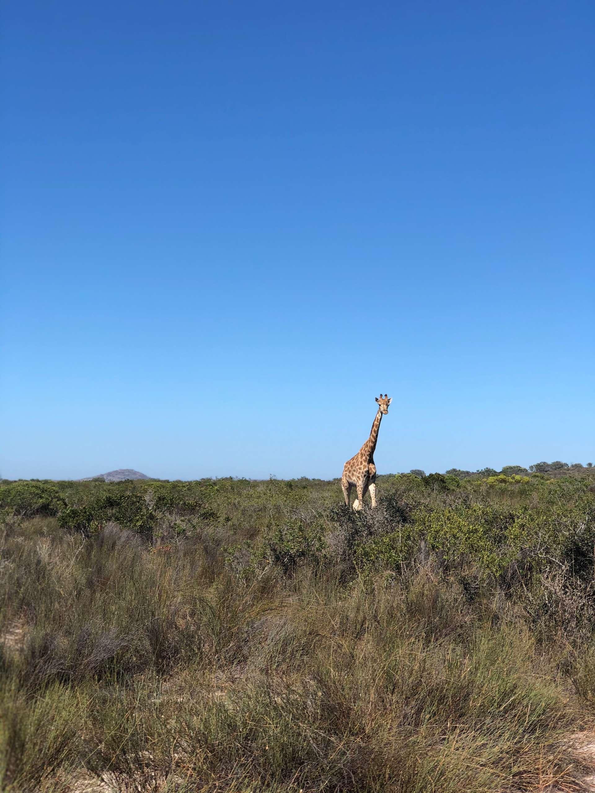 Zuid-Afrika, Kaapstad, giraffe