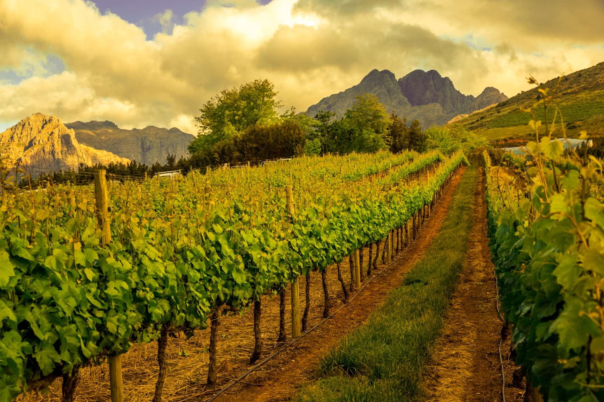 Zuid Afrika Kaapstad Stellenbosch wijngaard
