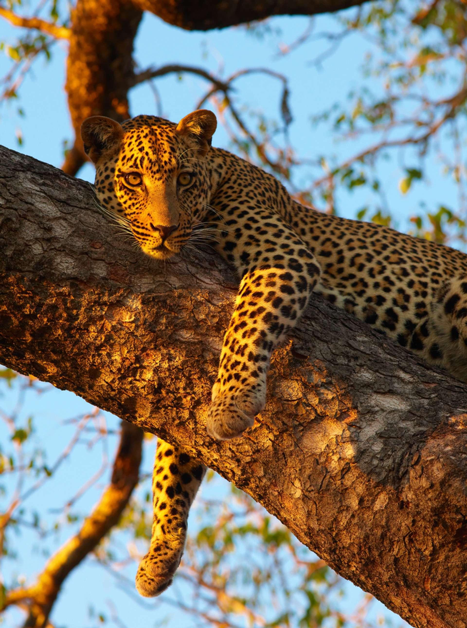 Zuid Afrika luipaard in boom